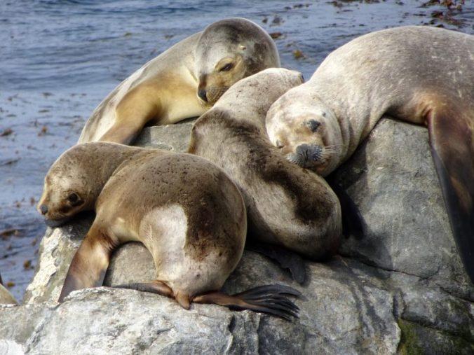 Les lions de mer du Canal Beagle